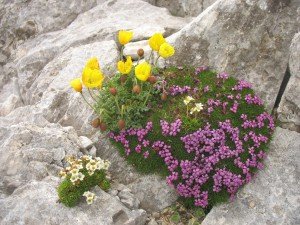 National Park Pirin flowers