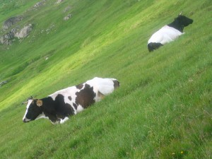 Cow herds in Rila Mountains